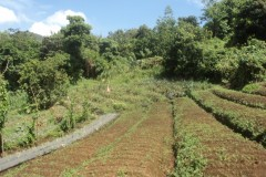 pineapples, vegetable beds and avocado trees